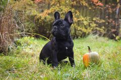 French bulldog and pumpkin Stock Photo