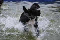 Great dane have fun in the pool royalty free stock photography