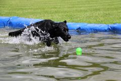 Labrador in the pool with a ball. Funny black labrador is having fun in the pool with a ball royalty free stock photo