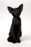 Funny black oriental kitten Royalty Free Stock Photos