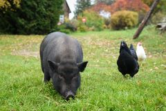 Black a pig in the yard Royalty Free Stock Image