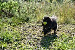 Funny black pomeranian spitz dog playing with the tennis ball. Outdoors royalty free stock image