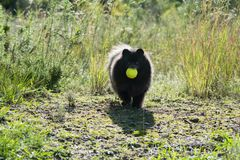 Funny black pomeranian spitz dog playing with the tennis ball. Outdoors stock photography
