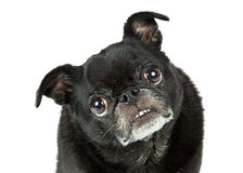 Funny Black Pug Tilting Head Closeup Stock Image