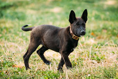 Funny Black Small Size Mixed Breed Puppy Dog Playing Outdoor In Green Grass Summer Meadow Stock Photos