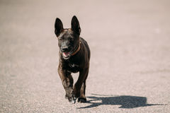 Funny Black Small Size Mixed Breed Puppy Dog Running Outdoor On royalty free stock photos
