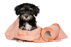 Funny black and tan havanese puppy is playing with toilet paper. Funny little black and tan havanese puppy dog is playing with a roll of peach toilet paper and royalty free stock photography