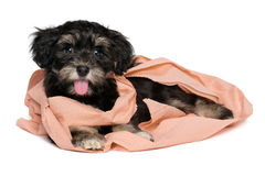 Funny black and tan havanese puppy is playing with toilet paper. Funny smiling black and tan havanese puppy dog is playing with peach toilet paper and looking at royalty free stock photo