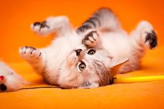 Funny black and white British kitten lying upside down royalty free stock photos