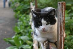 Funny black and white cat is lying on old wooden fence and carefully looking somewhere in a summer morning royalty free stock image