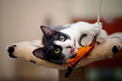 Funny black and white cat playing. With a toy royalty free stock photo