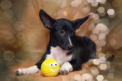Funny black and white crossbreed dog dachshund Royalty Free Stock Photo