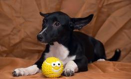 Funny black and white crossbreed dog dachshund Stock Photo