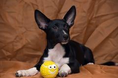 Funny black and white crossbreed dog dachshund Stock Image