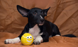 Funny black and white crossbreed dog dachshund Royalty Free Stock Image