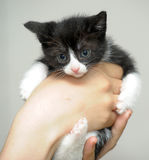 Funny black and white kitten Stock Images