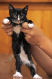 Funny black and white kitten Stock Image