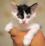 Funny black and white kitten Royalty Free Stock Photography