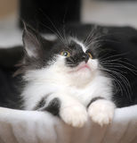 Funny black and white  kitten Royalty Free Stock Photos