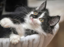 Funny black and white  kitten. Funny black and white fluffy kitten Royalty Free Stock Images