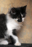Funny black and white  kitten Stock Photography