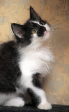 Funny black and white  kitten. Funny black and white fluffy kitten Stock Photography
