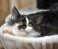 Funny black and white  kitten. Funny black and white fluffy kitten Royalty Free Stock Photo