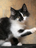 Funny black and white  kitten. Funny black and white fluffy kitten Royalty Free Stock Image