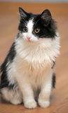 Funny black and white  kitten. Funny black and white fluffy kitten Royalty Free Stock Photos
