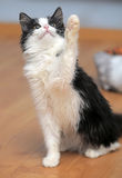 Funny black and white  kitten. Funny black and white fluffy kitten Stock Image