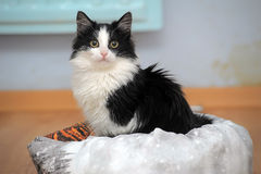 Funny black and white  kitten. Funny black and white fluffy kitten Royalty Free Stock Photography