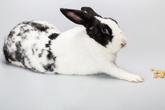 Funny Black and white rabbit with blue eyes Royalty Free Stock Photo