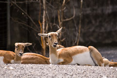 Funny Blackbucks. Two funny ffemales of theBlackbuck resting on the stones. Canon 400d Royalty Free Stock Photography