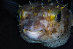 Funny blowfish (Diodon nicthemerus) close-up portrait. Tropical Stock Image