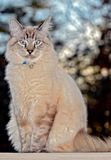 Funny Blue Eyed Cat Expression. A Lynx Point Siamese cat with blue eyes sitting outdoors, don`t know what he is thinking but he looks confused royalty free stock image