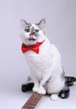 Funny blue-eyed cat with red bow tie licked and sitting on the electric guitar. Funny blue-eyed cat with red bow tie licked and sitting on black and white Royalty Free Stock Photos