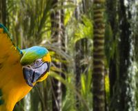 Funny blue and yellow macaw parrot isolated on a tropical rainforest background. A funny blue and yellow macaw parrot isolated on a tropical rainforest royalty free stock photography