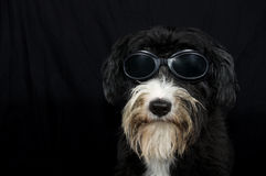 Funny bobtail Royalty Free Stock Photography