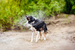 Border Collie dog shakes Stock Image