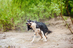 Border Collie dog shakes Stock Photography