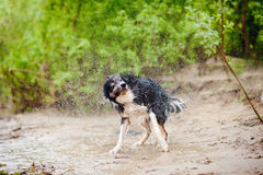 Border Collie dog shakes Stock Photo