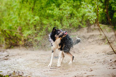 Border Collie dog shakes Royalty Free Stock Photos