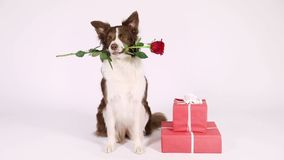 Border Collie dog with holiday gifts. Funny Border Collie dog sits on a white background, next to holiday gifts, she has a red rose in her mouth stock footage