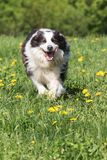 Funny Border Collie is running against the camera royalty free stock photo