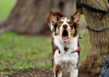 Funny border coollie dog laughs in summer. Day Royalty Free Stock Photos