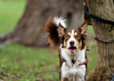 Funny border coollie dog laughs in summer Stock Photo