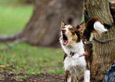 Funny border coollie dog laughs in summer Stock Images