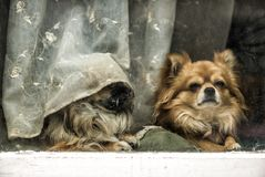 Funny tired dogs. Funny bored dogs at the window royalty free stock photography