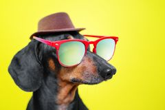 Funny   breed dog dachshund, black and tan, with sun glasses and hat, yellow studio background, concept of dog emotions and and ho. Lidays royalty free stock photography