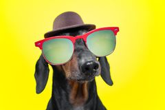 Funny   breed dog dachshund, black and tan, with sun glasses and hat, yellow studio background, concept of dog emotions and and ho. Lidays stock photos